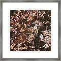 Copper Beech Framed Print