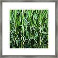 Corn Field's First Row Framed Print