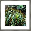 Crown Of Thorns In Pohnpei Framed Print