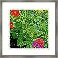 Dahlias By A Fence In Golden Gate Park In San Francisco, California  Framed Print