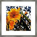 Day Lilies In  Space Framed Print