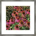 Deep Pink Echinacea Straw Flowers Green Leaf And Grass Background 2 9132017 Framed Print