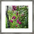 Domestic Rose Gone Wild Framed Print