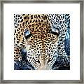 Drinking Leopard Framed Print