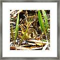 Ducklings 1 Framed Print
