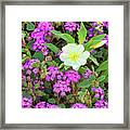 Dune Primrose Oenothera Deltoides And Purple Sand Verbena Framed Print