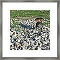 Female Killdeer Protecting Nest Framed Print by Douglas Barnett