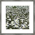 Field Dasies Framed Print