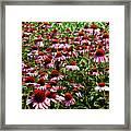 Field Of Echinacea Framed Print