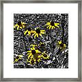 Flower Black Eyed Susan Framed Print