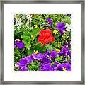 Flowers Of Bethany Beach - Petunias Framed Print