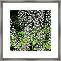Foam Flower Tiarella Cordifolia Framed Print