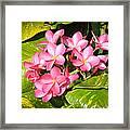Frangipanis In Bloom Framed Print