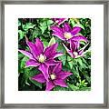 Fushia Clematis Flowers Framed Print
