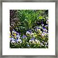 Garden Pansies Framed Print