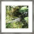Gator Baby Framed Print