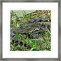 Gators 11 Framed Print