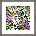 Glorious Foxgloves Framed Print
