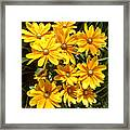 Golden Eyed Susans Framed Print
