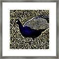 Golden Peacock Framed Print