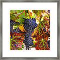 Grapes On Vine In Vineyards Framed Print
