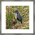 Great Blue Heron 2 Framed Print