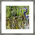 Great Blue Heron In The Wetlands Framed Print