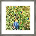 Green Blue Peacock Showing Off His Feathered Tail No2 Framed Print