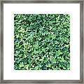 Green Clovers Framed Print