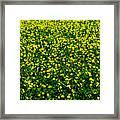 Green Field Of Yellow Flowers 3 Framed Print