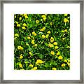 Green Field Of Yellow Flowers 4 Framed Print
