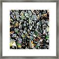 Green Lipped Muscles Framed Print
