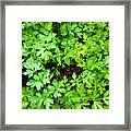 Green Parsley 2 Framed Print