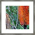Heath Banksia From Fairfax Walk Framed Print