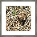 Horned Lizard Framed Print