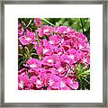 Hot Pink Sweet William Flowers In A Garden Blooming Framed Print
