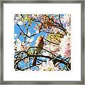 House Finch In The Cherry Blossoms Framed Print