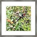 Hummingbird In Flight Framed Print
