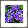 Hydrangea, Macrophylla Teller Framed Print