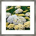 Hydrangeas Blooming Framed Print