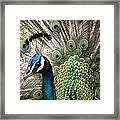 Indian Blue Peacock Puohokamoa Framed Print