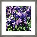 Irises Princess Royal Smith Framed Print