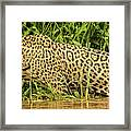 Jaguar Prowls The River's Edge Framed Print