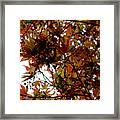 Japanese Maple 2011-1 Framed Print