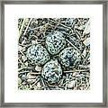 Killdeer Eggs Framed Print