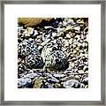 Killdeer Nest Framed Print