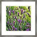 Lavender At Pilgrim Place In Claremont-california Framed Print