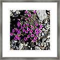 Lavender In The Rocks Framed Print