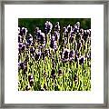 Lavender Pano Framed Print