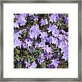 Lavender Rhododendrons Framed Print